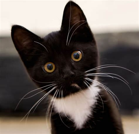 black and white kitten how black and white cats could help prevent health defects