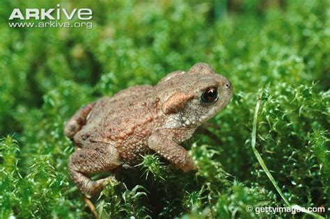 Common toad photo - Bufo bufo - A8943 | Arkive