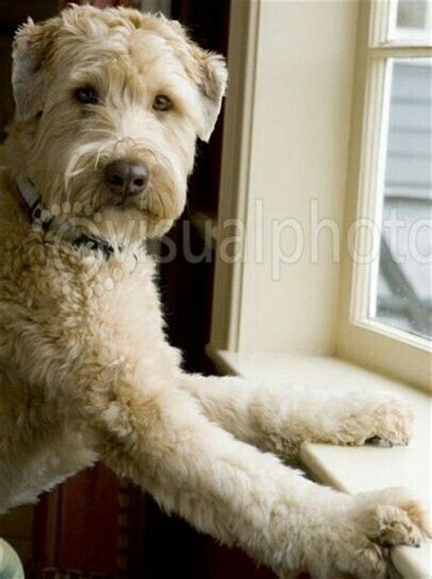 wheaten terrier cuts 1000 images about about soft coated wheaten terrier