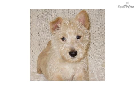 akc puppies for sale near sioux city south dakota akc marketplace scottish terrier puppy for sale near sioux city iowa 0a1418a1 b711