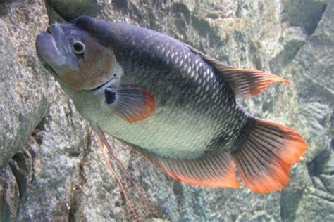 Ikan Gurame Padang Besar kalakay murag ikan gurame