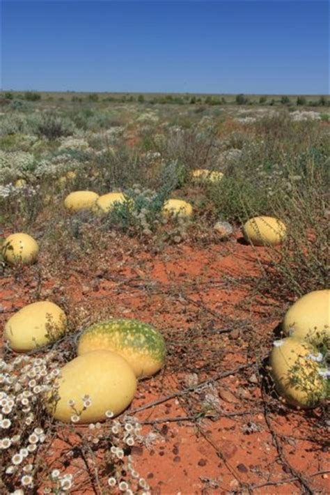 Paddy Melons Growing Wild   Side   Road