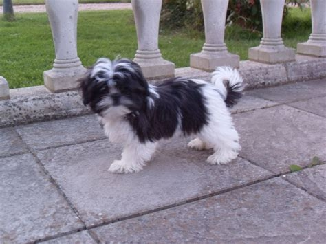 maltese and shih tzu difference mal shi puppies for sale breeds picture