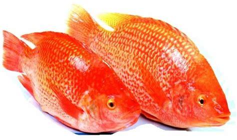 Pakan Ikan Louhan Supaya Merah okdogi komunitas pecinta binatang dan hewan peliharaan