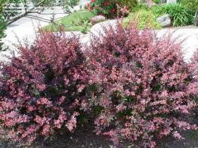 plantfiles pictures japanese barberry rose glow