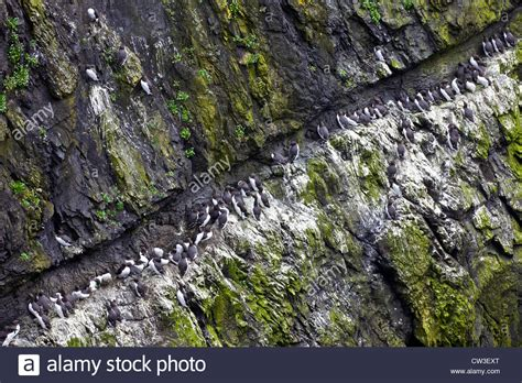 wick breed guillemots uria aalge on cliff ledge on the wick skomer stock photo