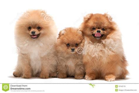 pomeranian family family of pomeranian spitz royalty free stock image image 13142176