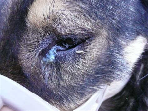 conjunctivitis in dogs thelazia callipaeda infection in dogs a new parasite for spain