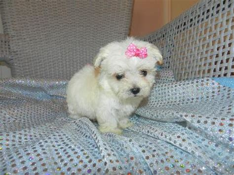 white teacup yorkies for sale we are proud to be a top terrier yorkie breeder in geogia
