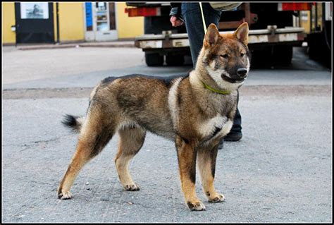 shikoku puppies japanese breeds and how to get them
