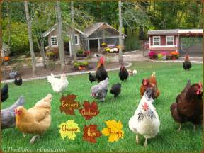 Backyard Chickens The Chicken 174 Tips For Selecting Chicken Breeds The