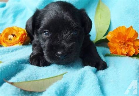 miniature schnauzer puppies for sale in california mini schnauzer puppies size for sale in sacramento california breeds picture