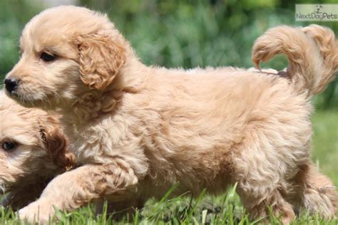 puppies for sale in grand rapids mi goldendoodle puppies michigan f1b mini goldendoodle puppies breeds picture