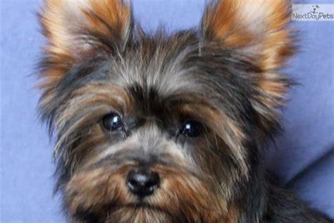 yorkie poo missouri yorkiepoo yorkie poo puppy for sale near joplin missouri 197cccfb 0041