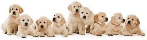 golden retriever blanco cachorros golden retriever canela y blancos garantia genetica perro anuncios