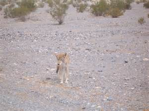 Monkey Face Orchid Coyote Death Valley California Animals Pinterest Coyotes California And Death