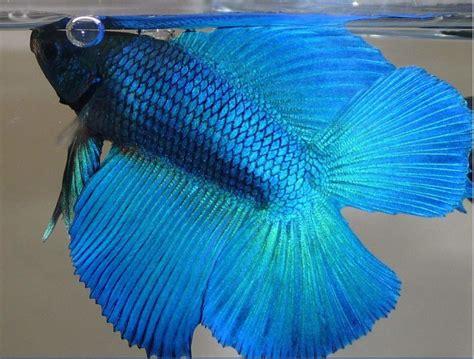 Makanan Terbaik Ikan Cupang Hias jenis jenis ikan cupang hias terbaik dan harganya