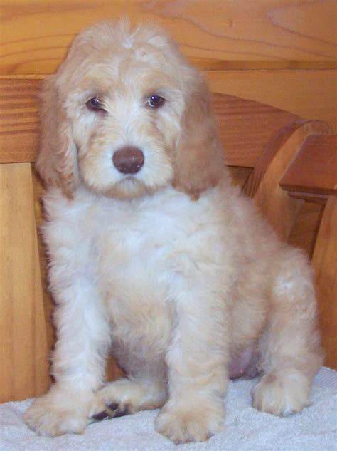 newfypoo puppies newfypoo puppies 719 320 7146 best newfypoo puppies newfoundland poodle mix call