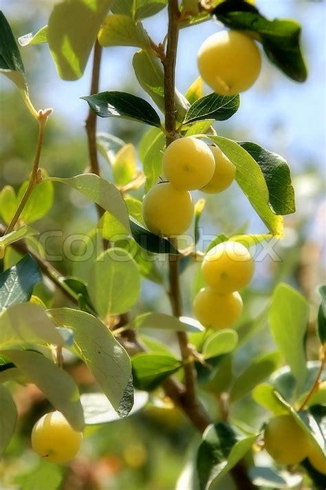 yellow fruit on tree yellow fruits on tree stock photo