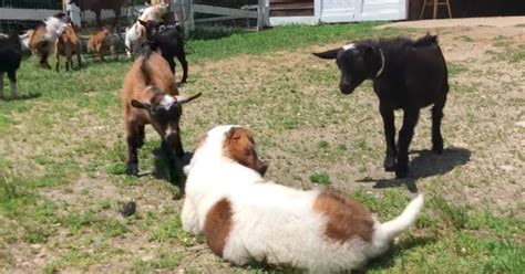 a bunch of puppies puppy meets a bunch of goats and melts hearts around the world codebringer