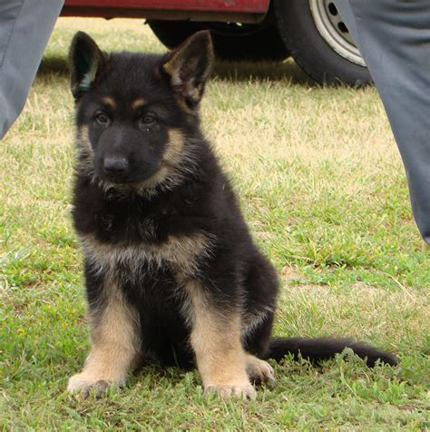 8 week german shepherd puppy german shepherd puppies larry di dranel