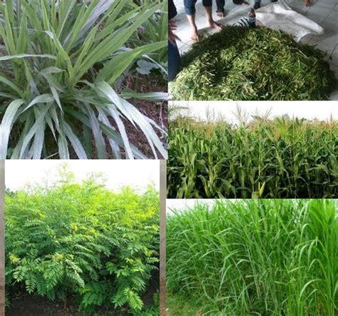 Harga Bungkil Kedelai 2016 jenis bahan pakan ternak kandungan nutrisi dan cara