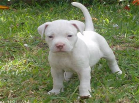 all white pitbull puppies american pit bull registry white pit bull puppy pictures