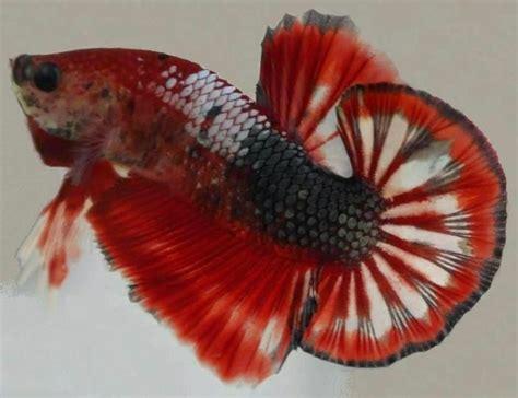 Cupang Koi Kuning 24 jenis dan gambar ikan koi ragam info