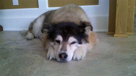 golden retriever alaskan malamute mix alaskan malamute husky puppy breeds picture