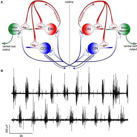 central pattern generator spinal neurons frontiers a synaptic mechanism for network synchrony