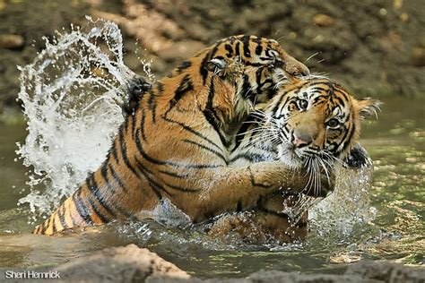 baby tiger with big tiger with images tiger pictures search