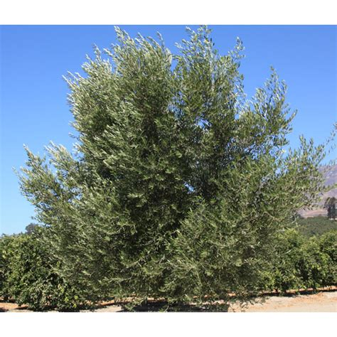olea europaea majestic beauty