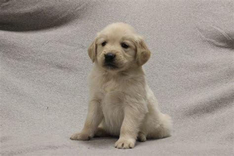 hoobly golden retriever adorable golden retriever puppies in hoobly classifieds