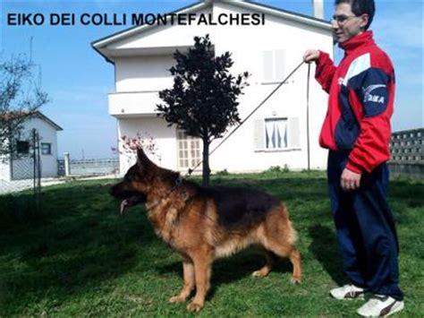 pastore tedesco in appartamento allevamento e cuccioli pastore tedesco in umbria cani