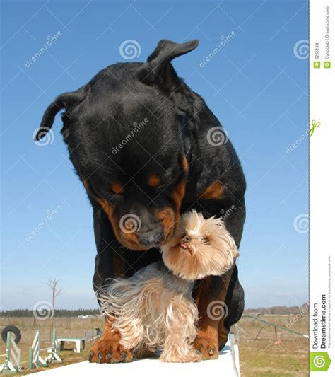 german rottweiler colors the gallery for gt german rottweiler and american rottweiler what is the difference