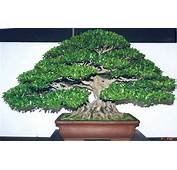 Other Bonsai  Ficus Ilicina Seeds Was Sold For R29