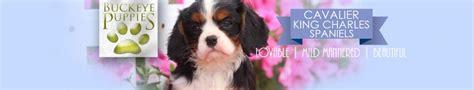 buckeye puppies puppies for sale buckeye puppies