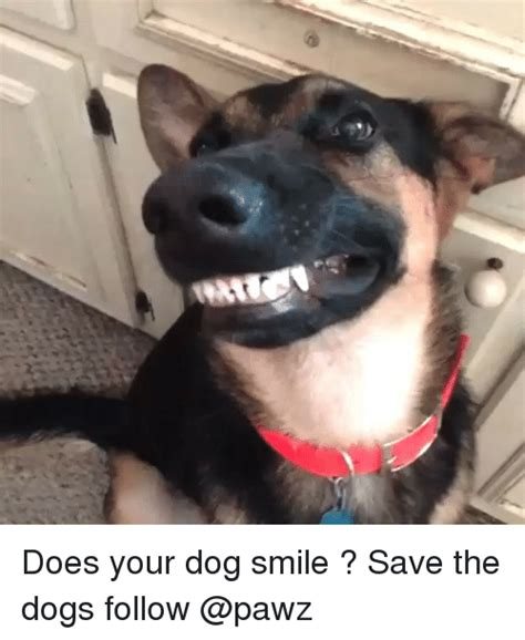 Smiling Dog Meme - dogs smiling www pixshark com images galleries with a