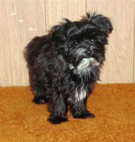 yorkie poo black this is what i am looking forward black yorkie poo grown black