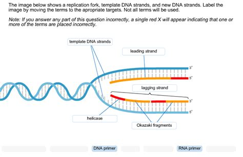 what is template dna the image below shows a replication fork template