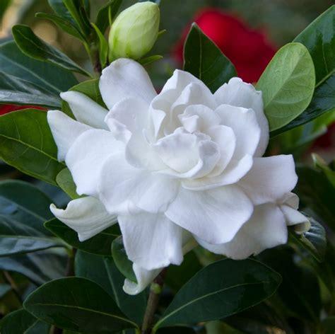 Gardenia Veitchii Pruning Daftar Nama Bunga Lengkap Beserta Gambar Dan Penjelasannya
