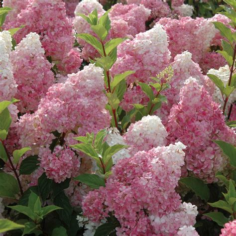 shade hydrangea hydrangea sundae fraise flowers shade moist loving garden