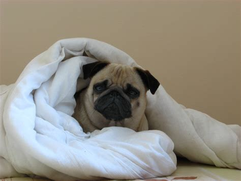 pug in cozy pug in a blanket