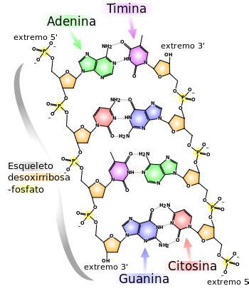 cadena de adn de 15 nucleotidos 193 cido desoxirribonucleico wikipedia la enciclopedia libre