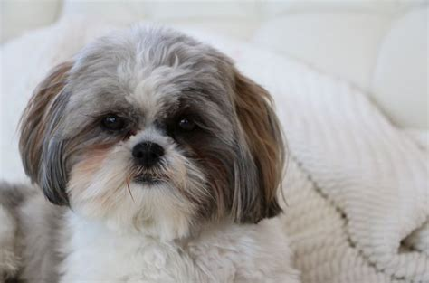 shih tzu sneezing shih tzu breeds 101 temperament and interesting history of shih tzu