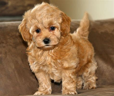 pictures of maltipoo puppies grown maltipoo apricot