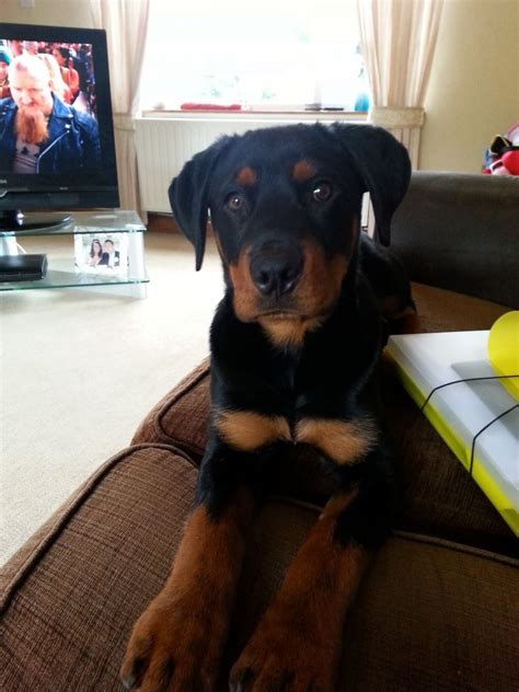 6 month rottweiler 6 month rottweiler for sale rugeley staffordshire pets4homes