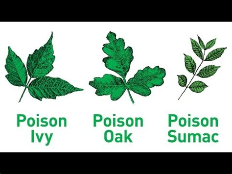 poison ivy oak and sumac information center www what pet owners should know about poison ivy oak and sumac