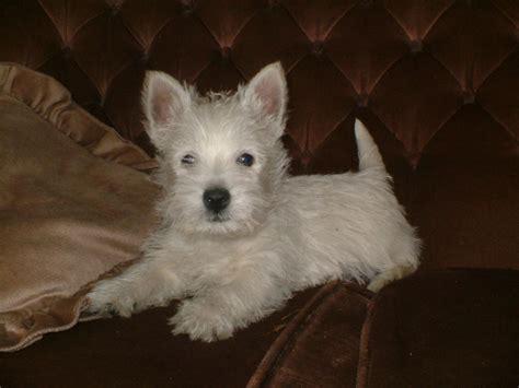 west highland white terrier puppies pedigree dogs west highland white terrier breeds picture