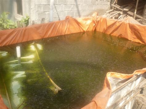 Bibit Lele Ukuran 4 Cm kolam pembesaran bibit lele ukuran 3 x 4 m dengan populasi